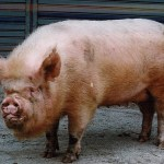 豚コレラと豚インフルエンザの違いは?症状と対象法も紹介!