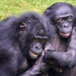 ボノボのホカホカとは?自然界で唯一人間と同じことが出来る動物!