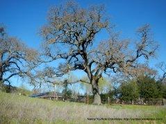 mighty oak-Pleasanton Ridge