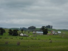 ranchlands and farms-grazing bovines
