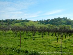 Vaca Valley vineyards