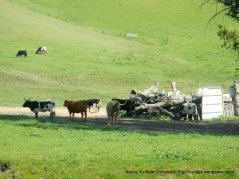 long horn cattle