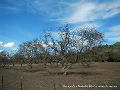orchard on Camino Tassajara