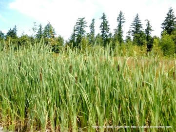 pond reed
