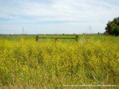 yellow mustards