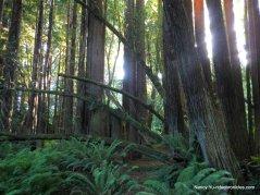 campground redwoods