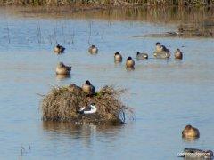 waterfowl-migratory birds