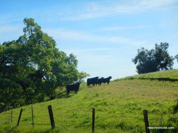roaming cattle