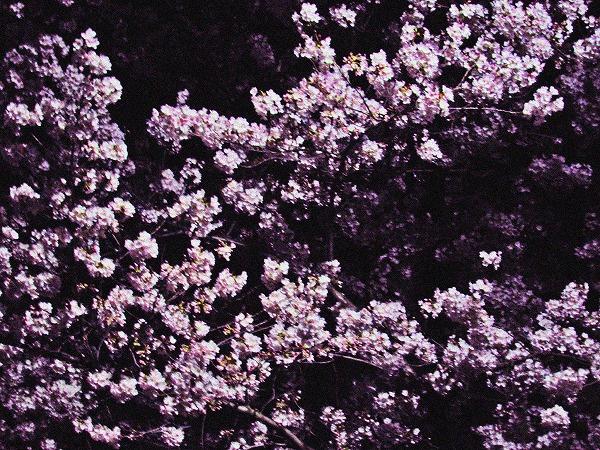 足立区の夜桜