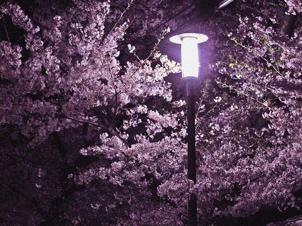 足立区の夜桜と街灯2