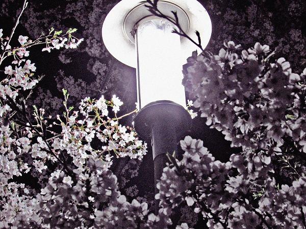 足立区の夜桜と街灯7