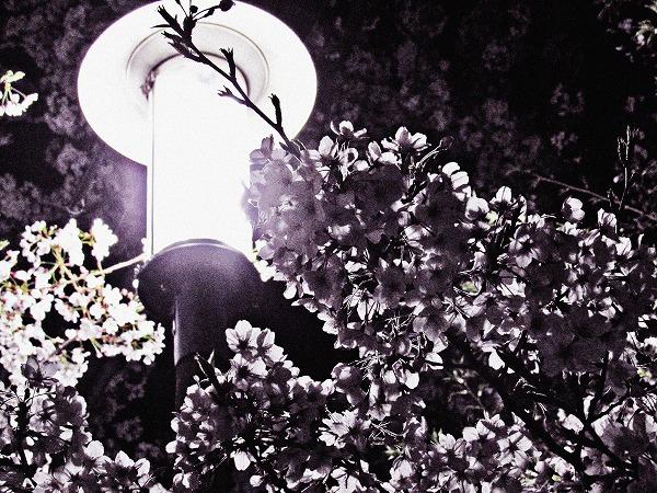 足立区の夜桜と街灯8