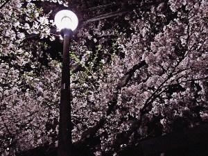 足立区の夜桜と街灯10