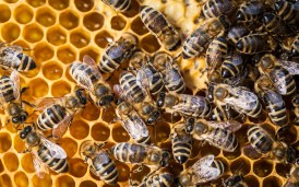 Bees - Shutterstock