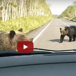 知床で熊が道路を横断する動画