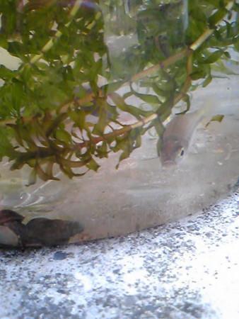 入間川魚とり子供の遊びだよ