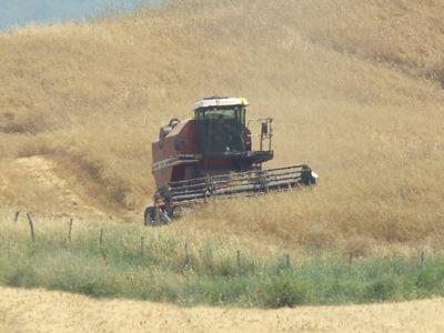 Der Mähdrescher mäht das Getreide ab