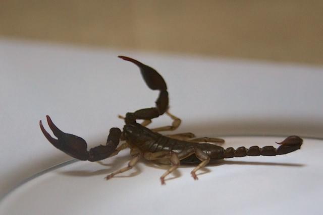 Un scorpione in casa nostra