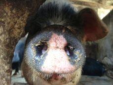 Uno dei maiali degli amici nostri