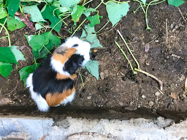 The guinea pigs are cool, too!