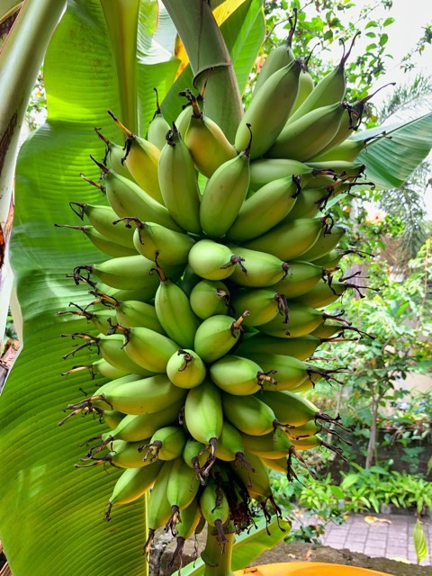 Our bananas are about to turn yello!