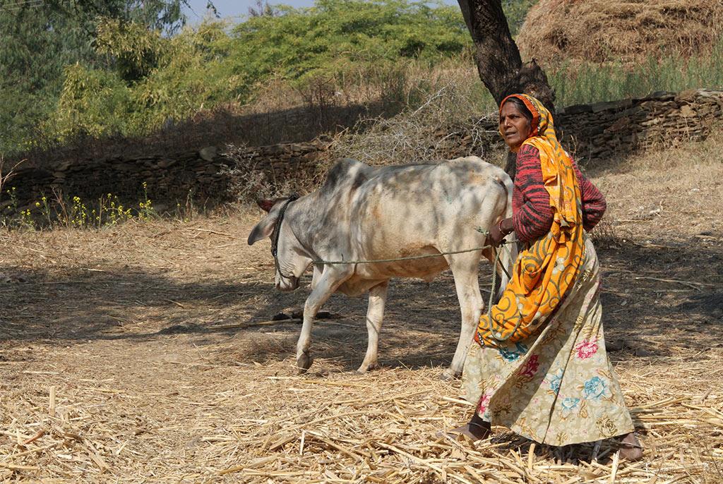 koeienhoedster in India