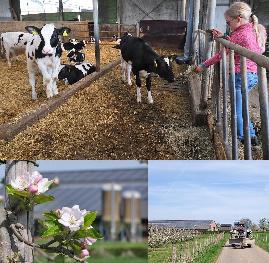 koeienstal en bloesem Zuid-Limburg