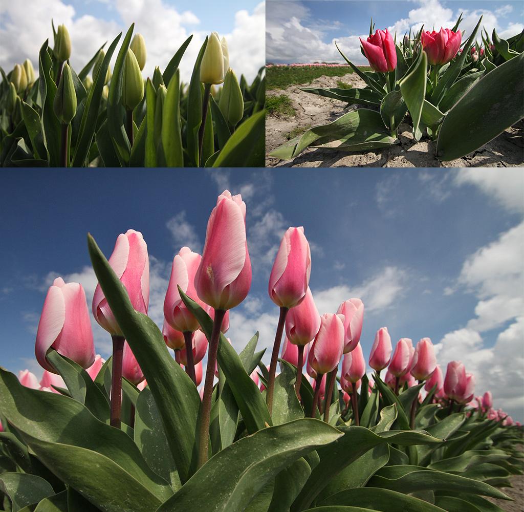tulpen en bollenvelden - routes en tips