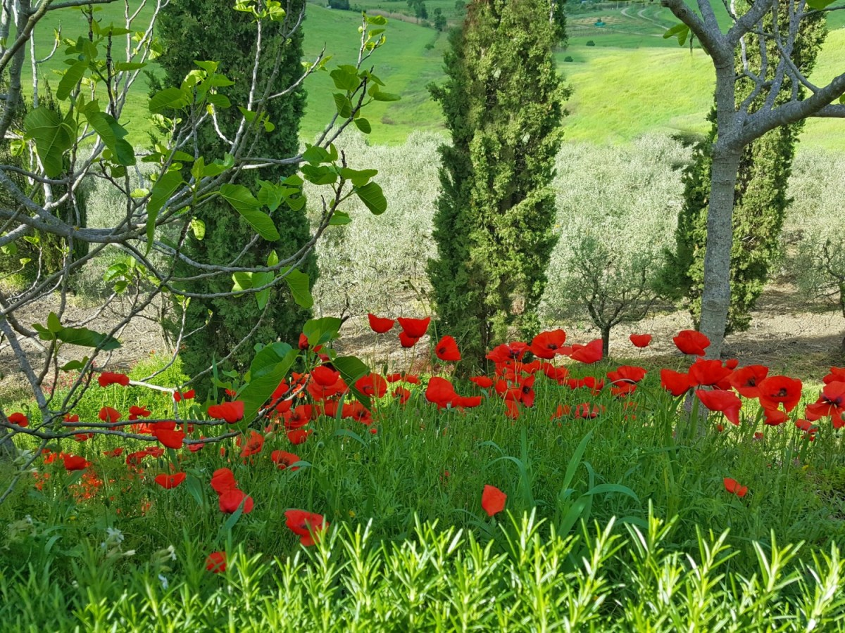 Red poppies along the countryside of Tuscany.