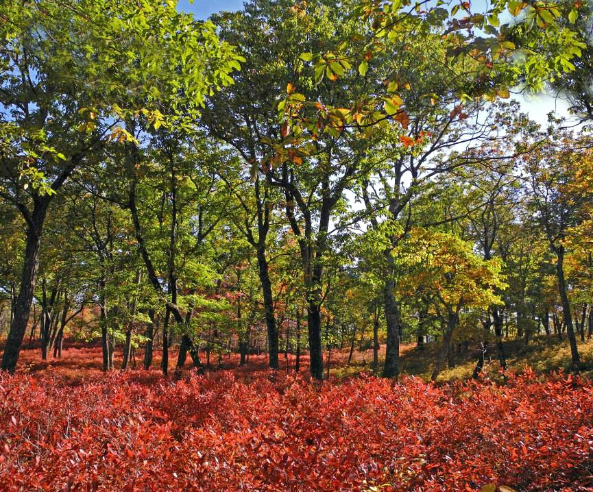 Red bushes at Mount Tammany in Delaware Water Gap.