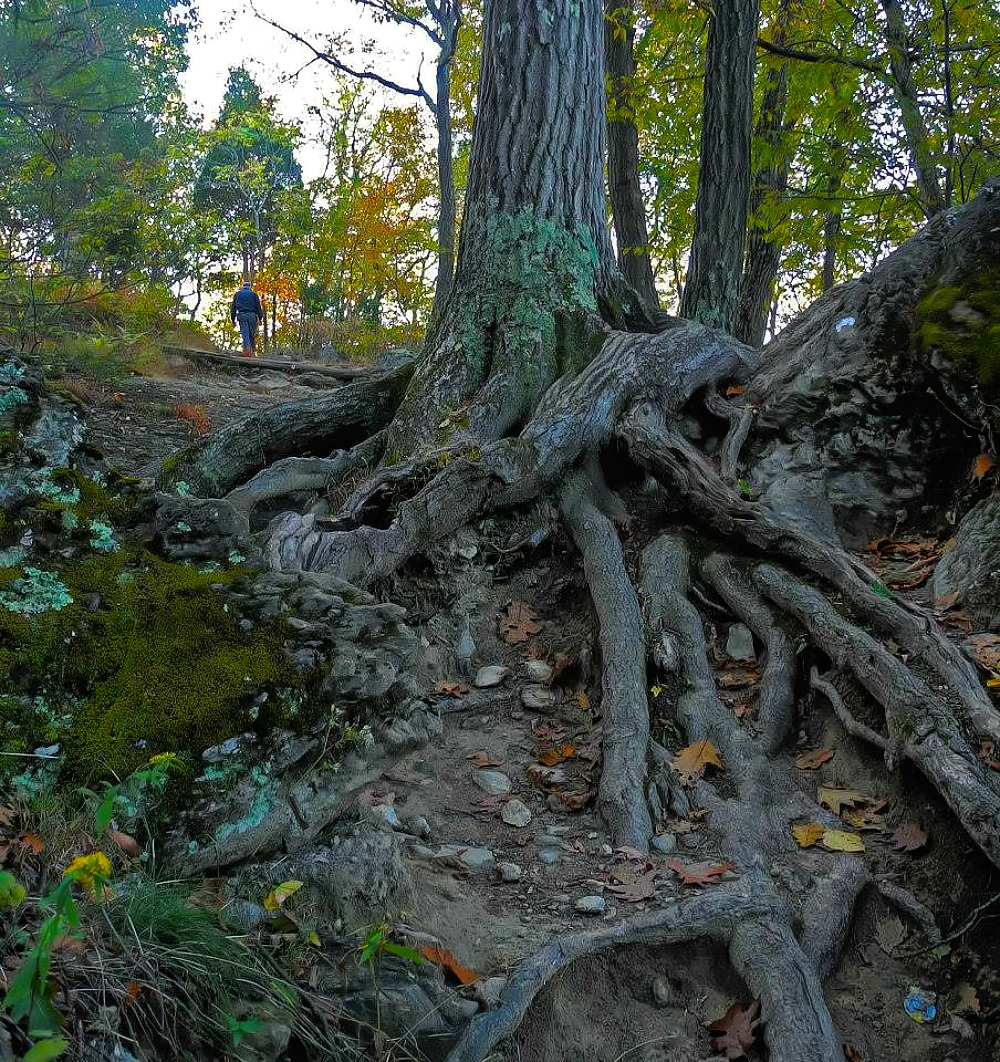 Exposed tree roots at Mount Tammany hiking trail, Delaware Water Gap.