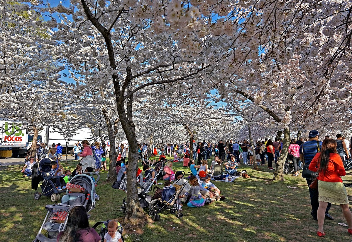Reasons to visit America - cherry blossom in Washington D.C.