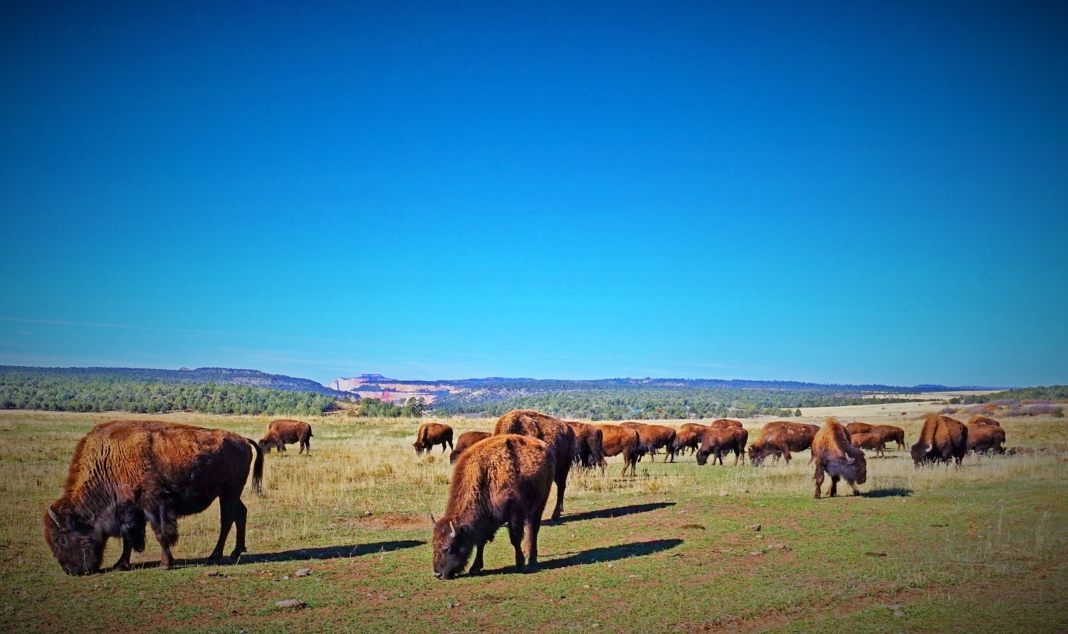 The American bison herd near Zion National Park, Utah