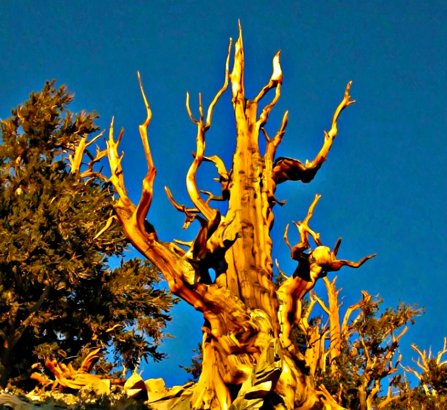 Ancient Bristlecone Pine Forest, California.