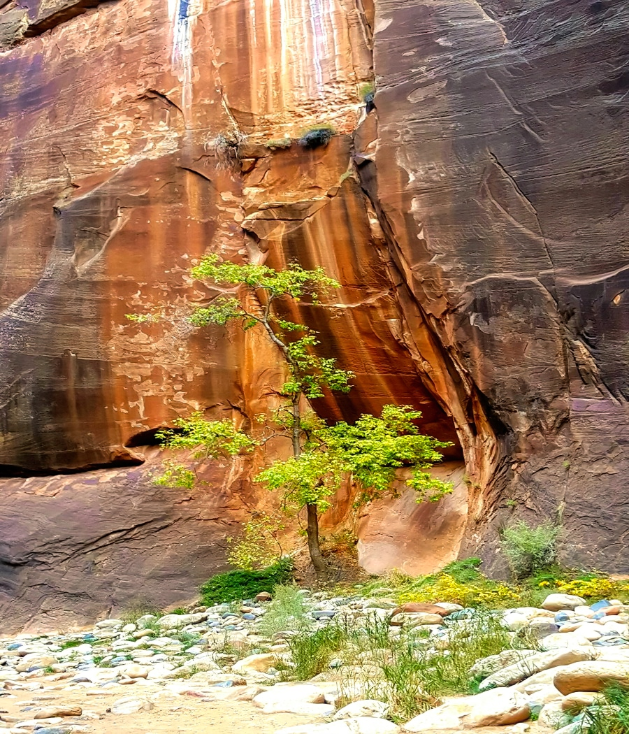 Despite the high walls of the Zion Canyon, some trees are still finding enough light to grow.