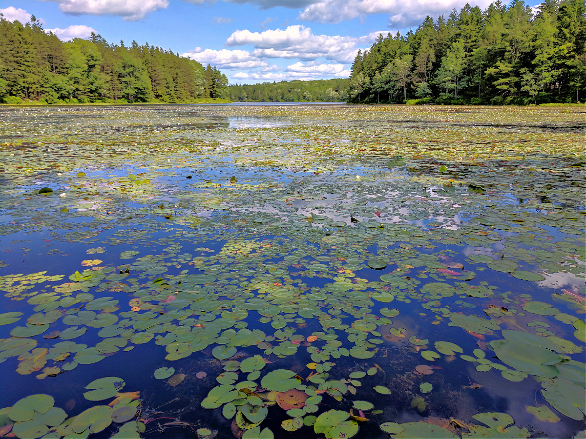 Promised Land State Park. Water lilies.