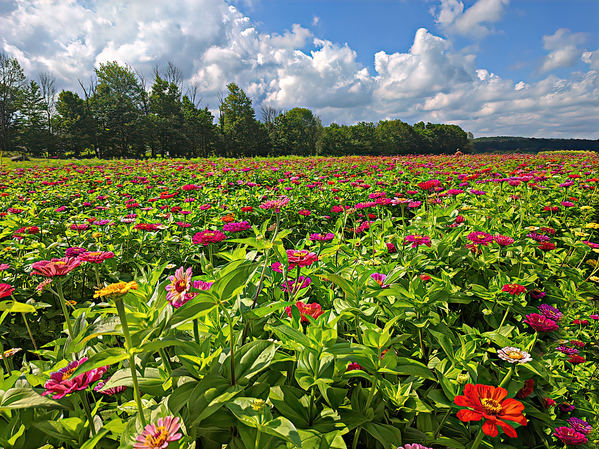 Lakeland Orchard & Cidery. The sea of zinnias.