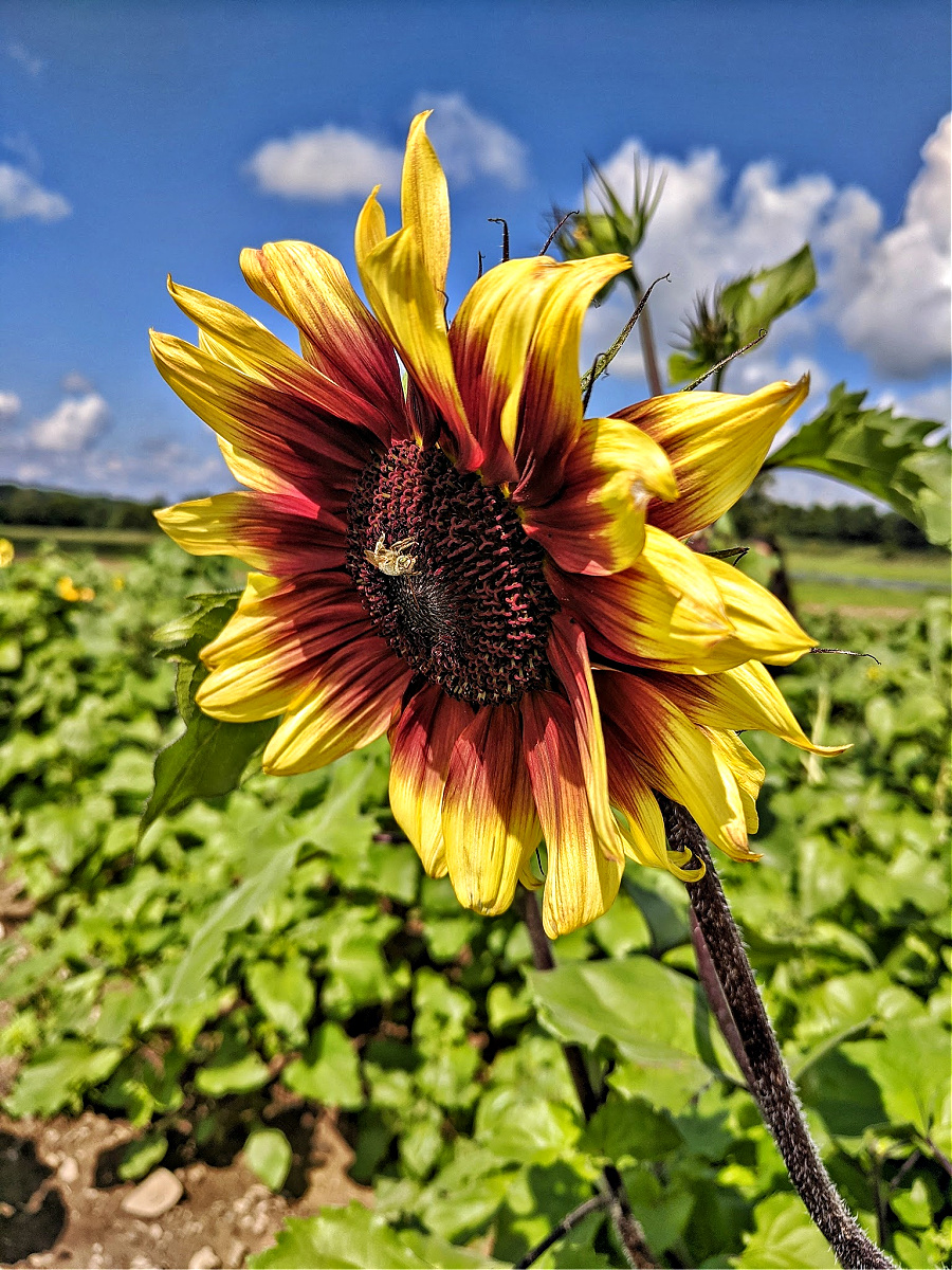 If you visit the Lakeland Orchard & Cidery toward the end of August, you may enjoy both, zinnias and sunflowers!