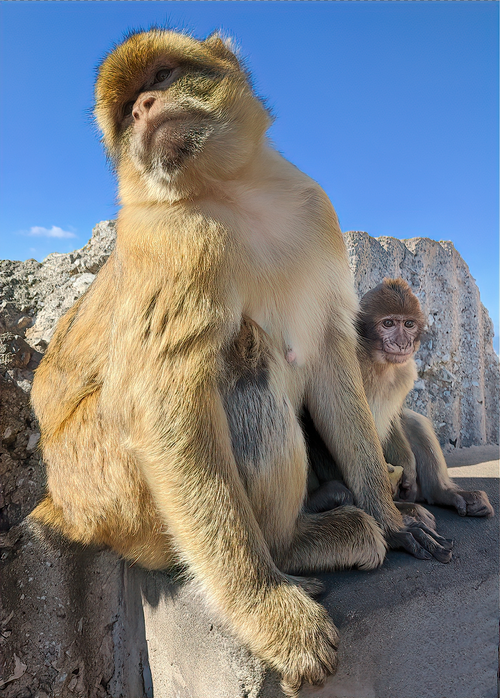 Barbary macaques at the Rock of Gibraltar.