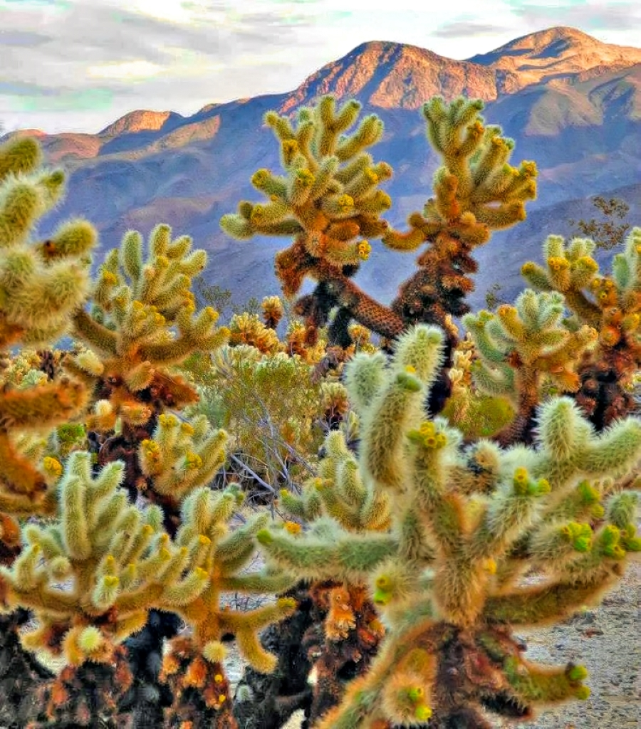 Cholla Cactus Garden in Joshua Tree National Park.