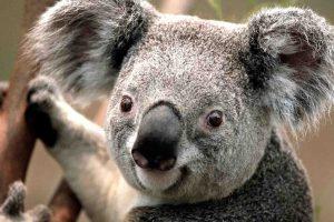 Koala—YWAM Inner Sydney, Australia