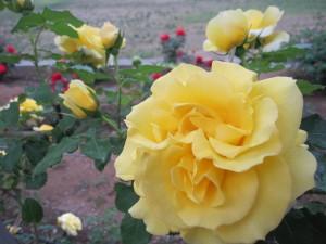 黄色バラ画像