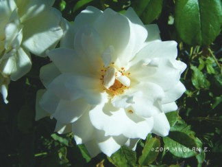 Beautiful white rose poking out of someone's yard