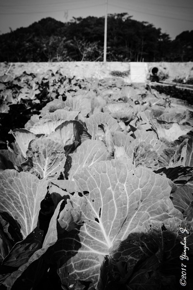 cabbage-patch