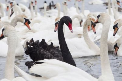 black swan picture from Mirror Co UK June 5 2012