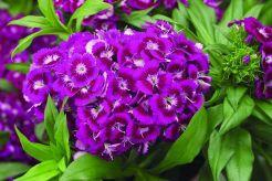 Dianthus barbatus / 1000-schoon