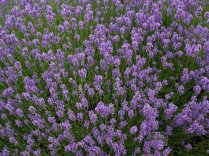 Lavadula angustifolia