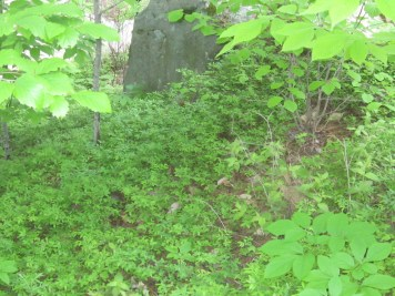 Lowbush blueberry planted near Great East Lake in Maine