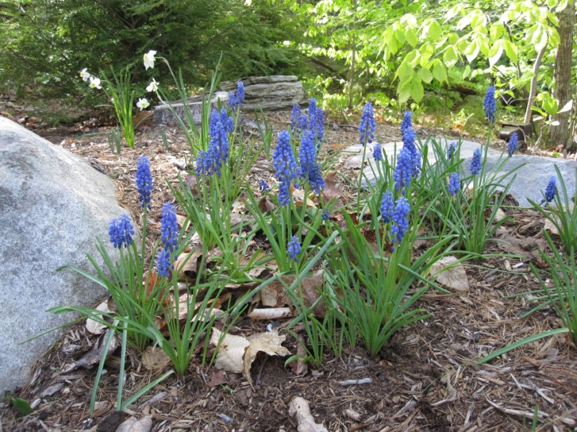 Early spring blooms in the woodland garden at Great East Lake