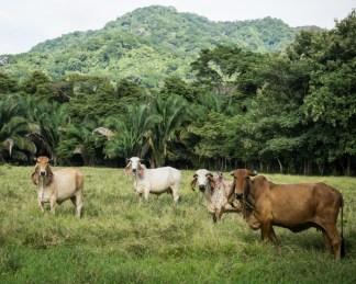 Jar Jar Binks + Cow = Tico Cattle